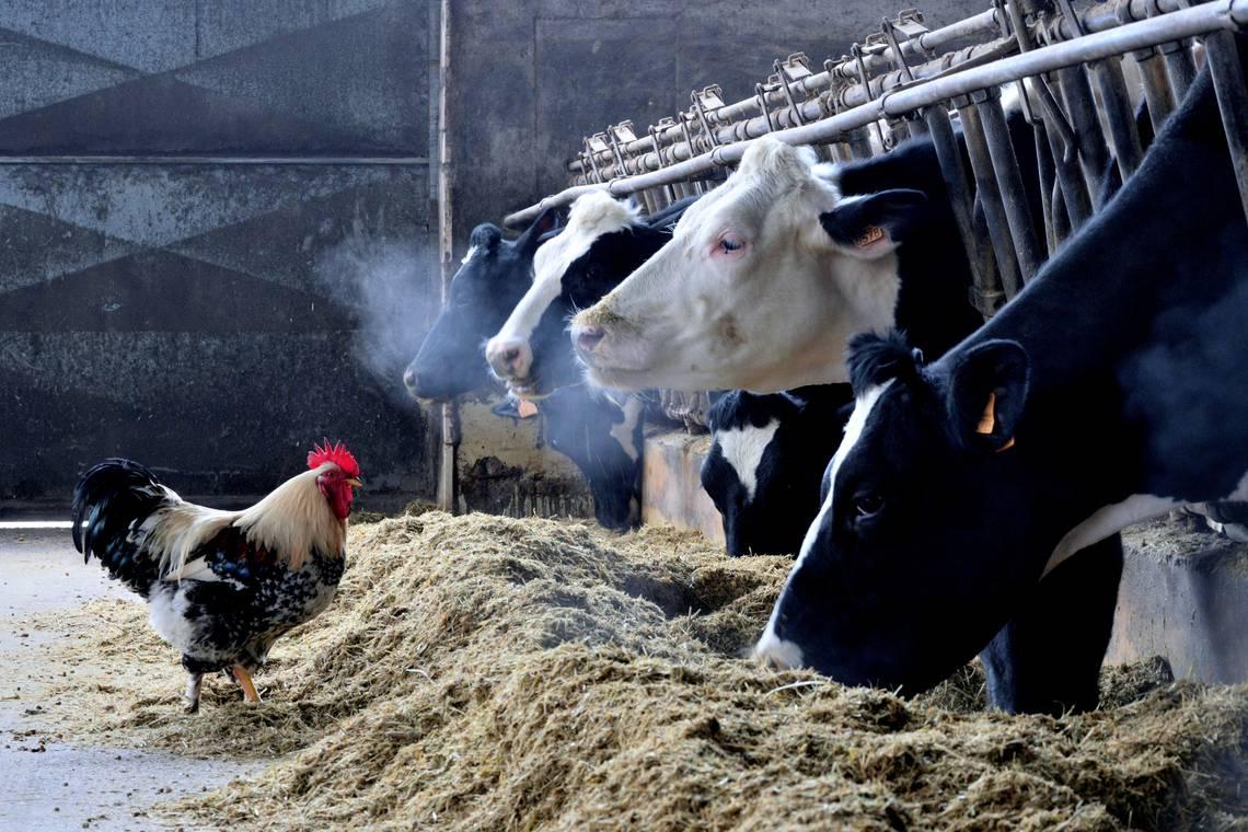 Pezzaioli Daniele - gallo con mucche.JPG