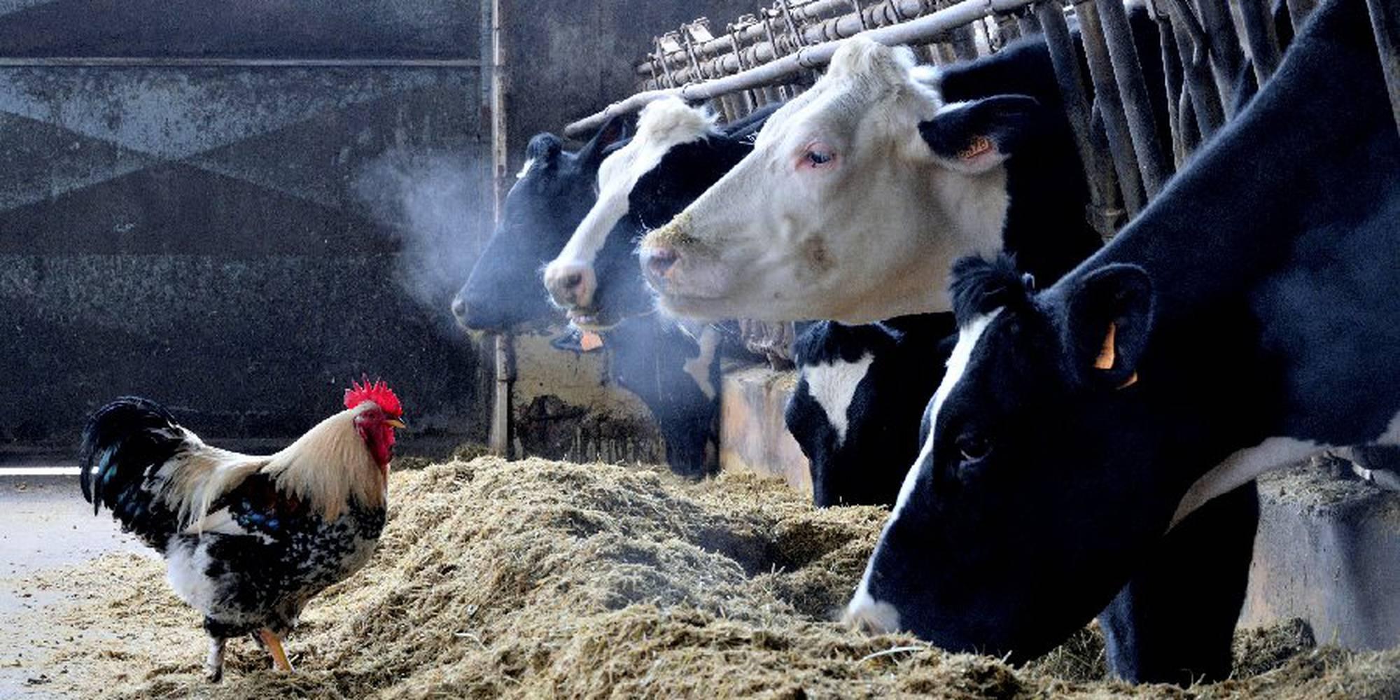gallo_con_le_mucche.jpg